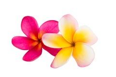Geïsoleerdee de bloem van Frangipani Stock Foto