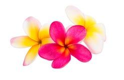 Geïsoleerdee de bloem van Frangipani Stock Afbeeldingen