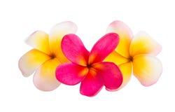 Geïsoleerdee de bloem van Frangipani Royalty-vrije Stock Fotografie