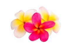 Geïsoleerdee de bloem van Frangipani Stock Afbeelding