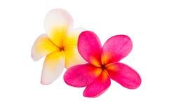 Geïsoleerdee de bloem van Frangipani Royalty-vrije Stock Afbeeldingen