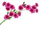 Geïsoleerdee de bloemen van de anjer Royalty-vrije Stock Foto's