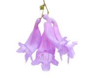 Geïsoleerdee de bloemen van Jacaranda Royalty-vrije Stock Afbeelding
