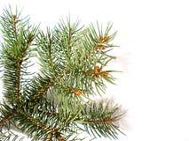 Geïsoleerdee de tak van de pijnboom   Royalty-vrije Stock Fotografie