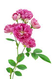Geïsoleerdee eenzame roze nam toe royalty-vrije stock afbeelding