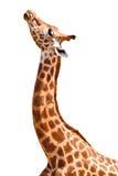 Geïsoleerdee giraf Stock Afbeeldingen