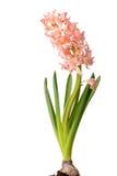 Geïsoleerdee hyacint Royalty-vrije Stock Foto's