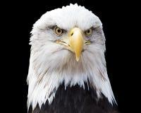 Geïsoleerdee kale adelaar stock afbeelding
