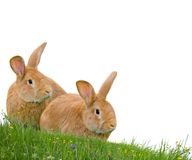 Geïsoleerdee konijnen Royalty-vrije Stock Foto