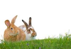 Geïsoleerdee konijnen Royalty-vrije Stock Afbeelding