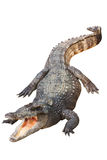 Geïsoleerdee krokodil stock afbeeldingen