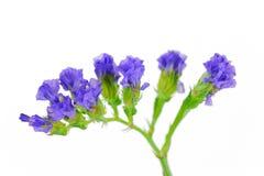 Geïsoleerdee lavendel stock foto's