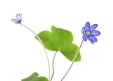Geïsoleerdee Liverleaf (nobilis Hepatica) stock foto's