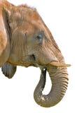 Geïsoleerdee Olifant Stock Foto