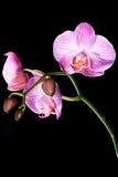Geïsoleerdee orchideebloemen op zwarte royalty-vrije stock foto's