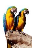 Geïsoleerdee papegaaien stock fotografie