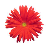 Geïsoleerdee Rode Gerber Daisy royalty-vrije stock fotografie