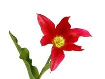 Geïsoleerdee tulp Royalty-vrije Stock Foto's