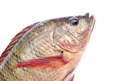 Geïsoleerdee vissen Royalty-vrije Stock Foto