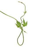 Geïsoleerdee wilde hopspruit royalty-vrije stock afbeelding