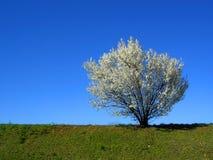 Geïsoleerdee witte tot bloei komende kersenboom in een de lentemiddag, hor Stock Afbeelding