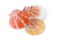 Geïsoleerdee zeeschelpen Stock Foto