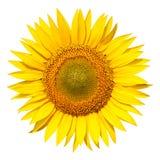 Geïsoleerdee zonnebloem royalty-vrije stock afbeeldingen