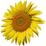 Geïsoleerdee zonnebloemclose-up Stock Foto