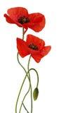 Geïsoleerdef de bloem van de papaver Royalty-vrije Stock Fotografie