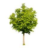 Geïsoleerdef de boom van de kastanje Stock Afbeeldingen