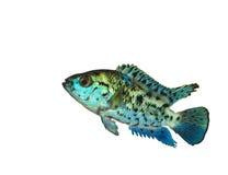 Geïsoleerdeg Blauwe Exotische Amerikaanse Vissen Stock Afbeelding