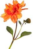Geïsoleerdeg dahlia royalty-vrije stock foto's