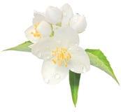 Geïsoleerdeg de bloem onechte oranje macroclose-up van de jasmijn Stock Afbeelding