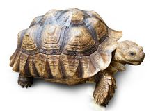 Geïsoleerdeg schildpad royalty-vrije stock afbeelding