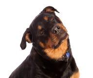 Geïsoleerdeg Vrouwelijke Rottweiler Stock Afbeeldingen