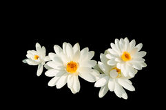 Geïsoleerdeg witte lotusbloem Royalty-vrije Stock Afbeelding