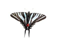 Geïsoleerdeh Gestreepte Swallowtail royalty-vrije stock afbeelding