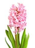 Geïsoleerdeh hyacint stock foto's