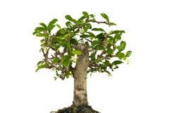 Geïsoleerdei de boom van de bonsai Stock Foto