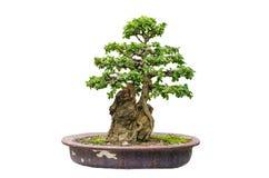 Geïsoleerdei de boom van de bonsai Royalty-vrije Stock Afbeeldingen