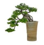 Geïsoleerdei de boom van de bonsai Stock Afbeelding