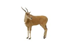 Geïsoleerdei impala Stock Afbeelding