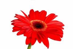 Geïsoleerdei rode madeliefjebloem stock foto