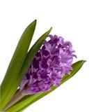 Geïsoleerdej hyacint stock foto's
