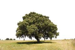 Geïsoleerdek eiken boom Stock Afbeelding