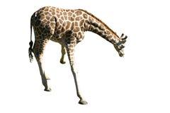 Geïsoleerdek giraf Royalty-vrije Stock Fotografie