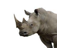 Geïsoleerdek rinocerosstier stock foto's