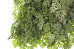 Geïsoleerdel de Bladeren van de kervel Stock Fotografie