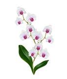 Geïsoleerdel de bloem van de orchidee Stock Afbeelding