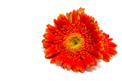 Geïsoleerdel de bloem van Gerbera Stock Foto's